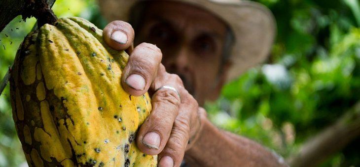 Le cacao, véritable or noir d'Amérique latine