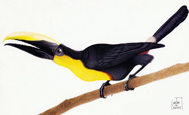 Les oiseaux d'Amérique latine